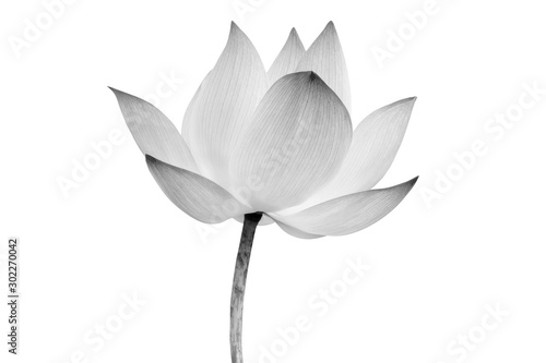 Deurstickers Waterlelies Lotus flower isolated on white background. File contains with clipping path so easy to work.