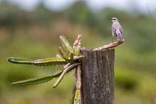 Tropical Mockingbird Photograp...