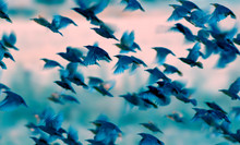 Flying Birds. Birds Silhouettes. Nature Background. Abstract Nature. Birds: Common Starling. Sturnus Vulgaris.