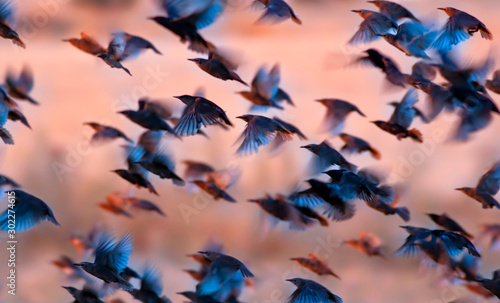 Photo sur Aluminium Fleuriste Flying birds. Birds silhouettes. Nature background. Abstract nature. Birds: Common Starling. Sturnus vulgaris.