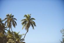 Palm Trees With A Clear Blue Sky