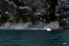 A Puffin Flew Off A Cliff And Flew Over The Ocean