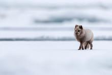 An Arctic Fox Walks On The Pac...