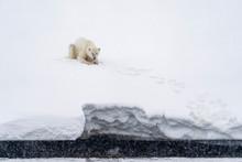 A Polar Bear Is Sitting In The Snow Near The Shore