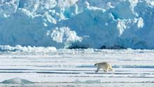 A Polar Bear Walks On The Ice ...
