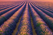 Rows Of Purple Lavender In Height Of Bloom In Early July In A Field On The Plateau De Valensole