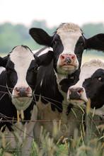 Milking Cows Grazing In Pastur...
