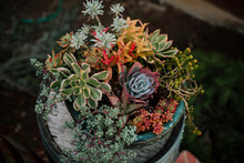 Colorful Succulent Plants In Ceramic Pot In Wooden Barrel