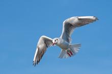 Black Headed Gull (Larus Ridibundus) In Flight Close Up