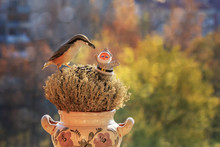 There Is A Large Beautiful Bird Nuthatch, Holding In The Beak A Sunflower Seed. The Bird Sits On The Feeder In The Form Of A Mound Of Moss, Close-up. Studio, Horizontal Layout, Copy Space.