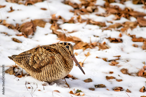 Canvas Print Camouflage bird woodcock