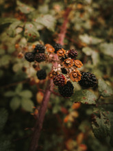 Wild Fresh Edible Ripe And Unripe Blackberries With Brown Wilted Flowers On Shrub Branch Against Blurred Background Of Dappled Green And Orange Leaves In Autumn