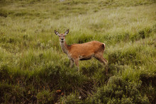 Alert Roe Deer Standing In Field And Looking At Camera In Glen On Summertime