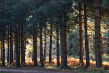 Scenic Sherwood Pines Forest In Nottinghamshire England. Vibrant Autumn Pathways Of Tall Pine Trees With Beautiful Autumn Colours And Sunlight Through The Trunk And Leaves