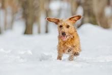 Dachshund Puppy Running Throug...