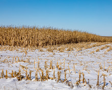 Cornfield With Cornstalks And ...