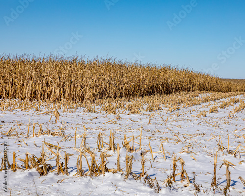 Obraz na plátne Cornfield with cornstalks and ears of corn covered in snow