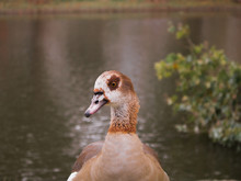 Egyptian Goose Duck Park Isola...
