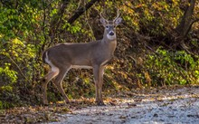 Whitetail Buck Crossing Road I...