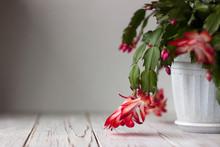 Red And White Zigocactus, Schl...