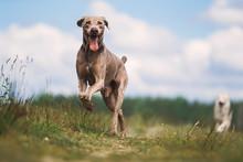 Happy Weimaraner Dog Playing In Summer Field