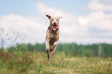 Happy Weimaraner Dog Playing In Summer Field