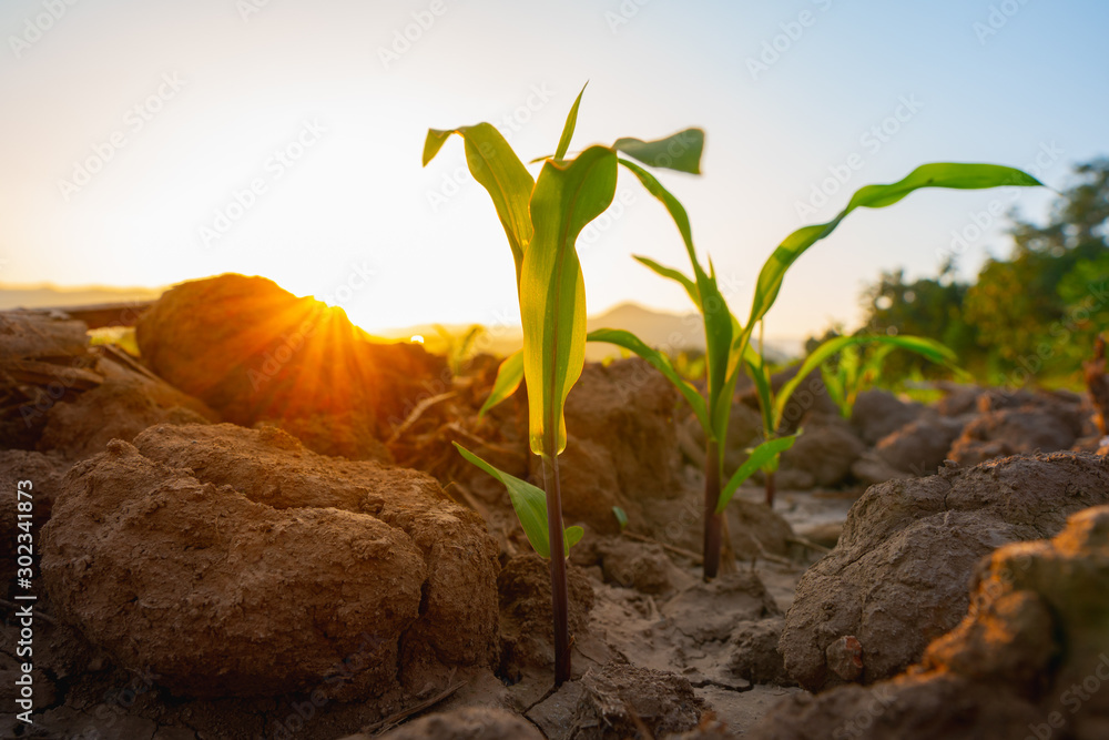 Fototapety, obrazy: Maize seedling in the agricultural garden with the sunset, Growing Young Green Corn Seedling