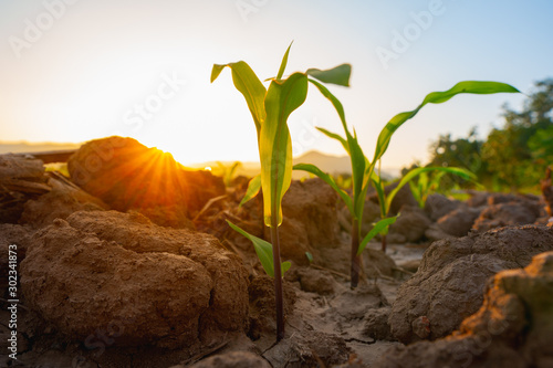 Obraz Maize seedling in the agricultural garden with the sunset, Growing Young Green Corn Seedling - fototapety do salonu