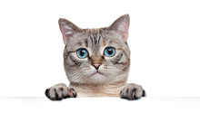Close-up Portrait Of Tabby Grey Cat Holding Blank Board