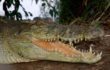 Saltwater Crododiles In Kakadu...
