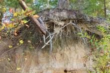 Water Erosion Exposed Tree Roots
