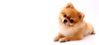 cute pomeranian dog on white background in studio with copy space.