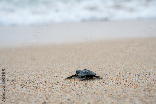 Fotografia, Obraz Release Young Sea Turtle