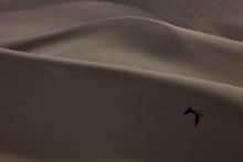 Crow In Desert