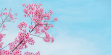 Beautiful Bloom Pink Cherry Blossom Sakura In Spring With Clear Blue Sky, With Copy Space