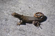Curly Lizard On Pavement