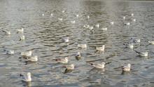 Seagulls Swim Through The Water.