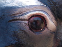 Eye Of A Buffalo Statue.