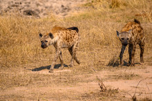 Two Spotted Hyena Strolling Th...
