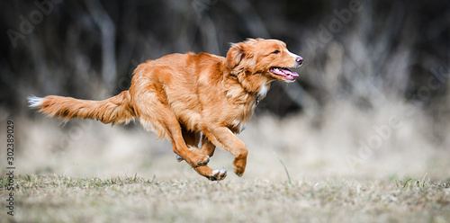 nova-scotia-duck-tolling-retriever