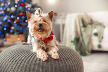 Cute Dog In Room Decorated For...