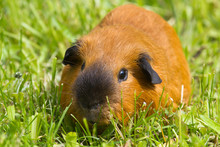 Red Guinea Pig Grazing On The Green Grass