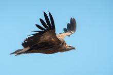 Himalayan Griffon Vulture Flyi...