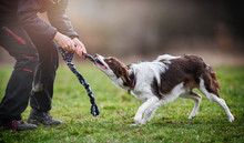 Young Inteligent Border Collie Strength Training. Dog And Trainer Pull Rope Detail.