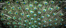 Peacocks Pattern Or Texture. C...