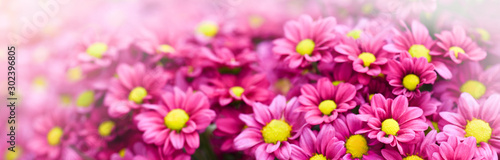 Foto auf Gartenposter Rosa Lovey Purple pink and yellow flowers daisies banner or panorama. Bouquets of blossom rainbow Chrysanthemum floral top view. Violet daisy flower background.