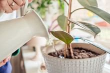 Woman's Hands Watering Plants In Home Selective Focus. Making Homework. Domestic Life Concept