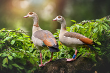 Two Egyptian Gooses Sitting On...