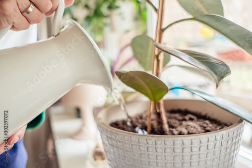 Obraz woman's hands watering plants in home selective focus. Making homework. Domestic life concept - fototapety do salonu