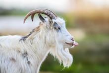 Bearded White Goat Portrait On...